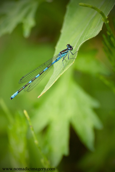 beautiful damselfly macro image