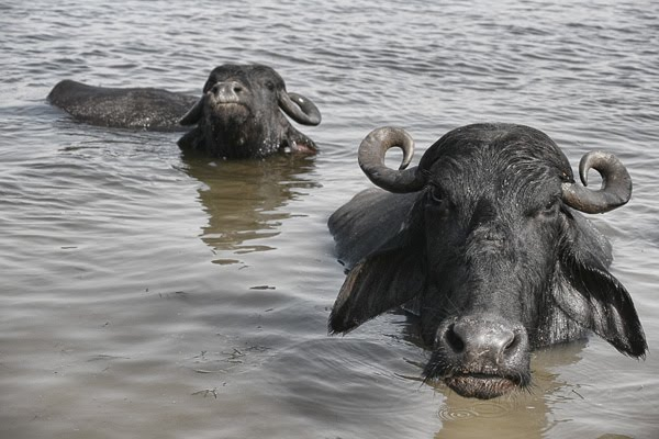 water buffalo look at camera