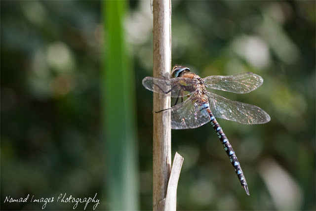 migrant hawker dragonfly image