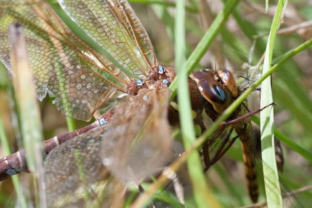 cannibilism of dragonflies