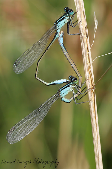 macro photo of damselflies mating