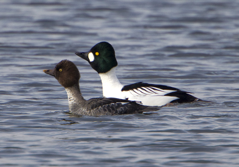 pewit: Goldeneye and Tufted Duck
