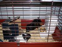 Adopt a guinea pig in pa nj ny wv ny craigslist buffalo - Craigslist joplin mo farm and garden ...