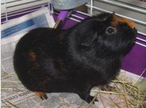 Adopt a Guinea Pig in PA/NJ/NY/WV: NY-Lollypop Farm in ...