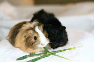 Adopt a Guinea Pig in VA/MD/DC