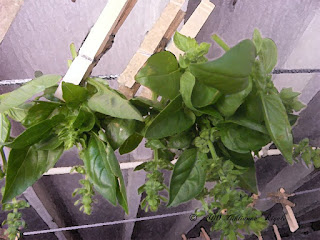 Photo of Hanging Fresh, Sweet Basil Upside Down to Dry