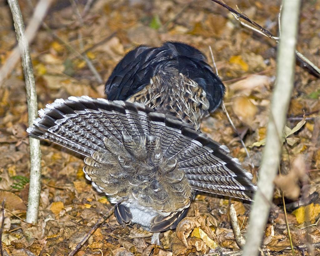Ruffed grouse male