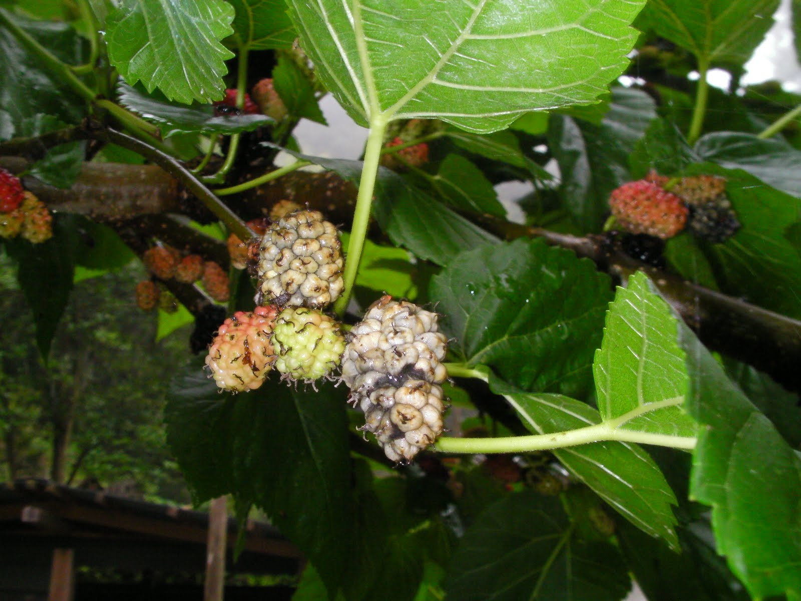My Corner Of Japan Mulberries And Popcorn Disease