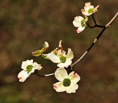 dogwood blooms have arrived in east Tennessee