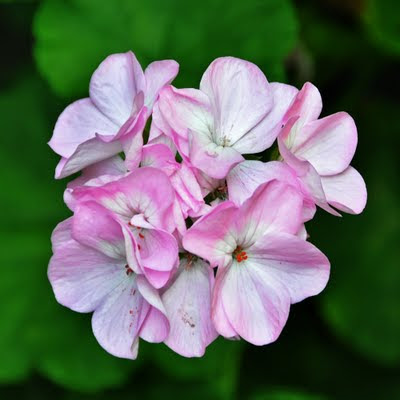 pink geranium bloom