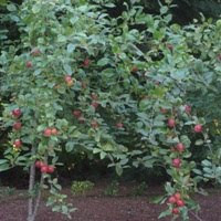 Apple trees in my backyard. (Image copyrighted.)