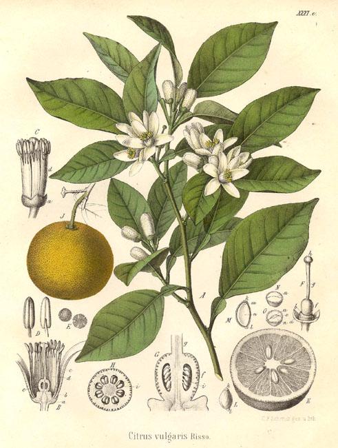 Malinalli herbolaria m dica naranjo naranja y azahar - Naranjas del arbol a la mesa ...