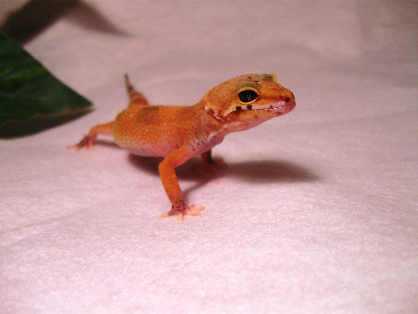 Heather's Reptiles: Leopard Gecko - Galilee, Eve, Raptor
