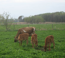 Meadow Veal Calves