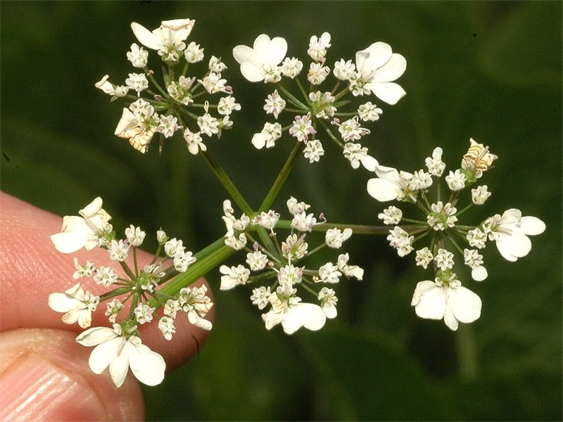 The Nature of Robertson: Coriander - Compound Umbel flower ...