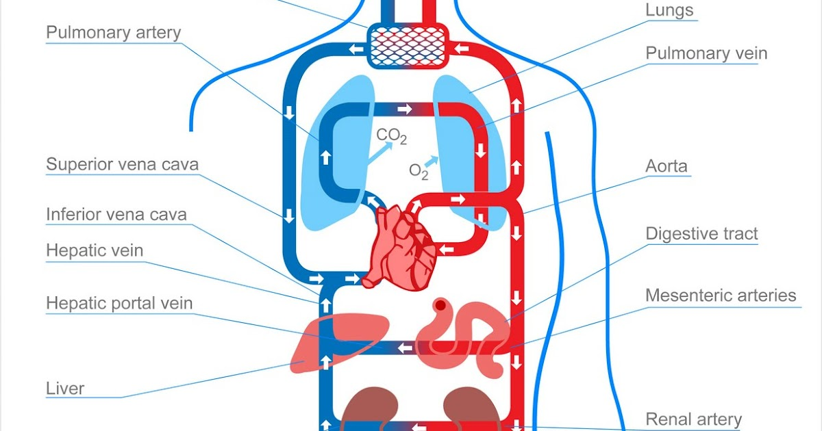 Cardiac and Respiratory: Structure of Arteries Veins and ...