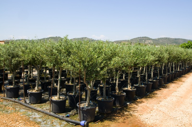 Olea nombre comun o vulgar olivo aceitunero aceituno for Viveros de arboles en madrid