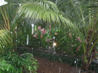pink gingers in the rain, La Ceiba, Honduras