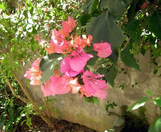 Hot pink and orange bougainvillea