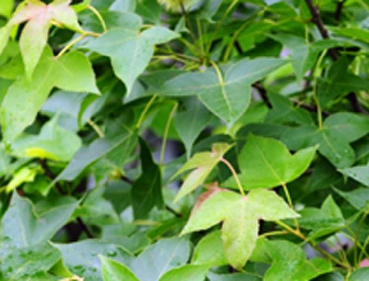 網路傳播設計: 臺灣楓樹賞析之ㄧ--如何分辨楓香與槭樹