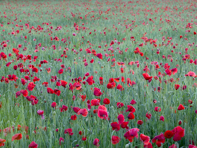 God Quotes Hd Wallpaper Cute Flowers Iris Tulip Lily Wallpapers Desktop