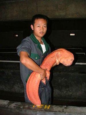 Salamander Raksasa : salamander, raksasa, Corak, Informasi:, Giant, Salamander