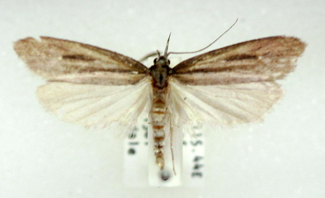 Xyloryctine Moths of Australia: Heterochyta