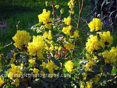 Oregon grape-Mahonia aquifolium shrub