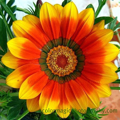 Yellow-red gazania flower-macro