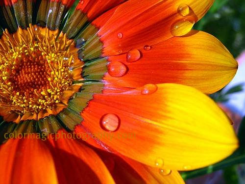 Gazania petals with raindrops-macro