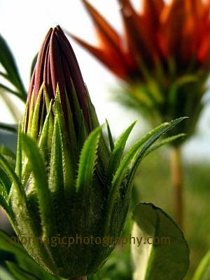Red gazania bud-macro photo