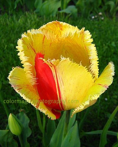 Yellow fringed tulip-macro photo