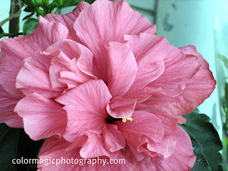 pink hibiscus flower close up