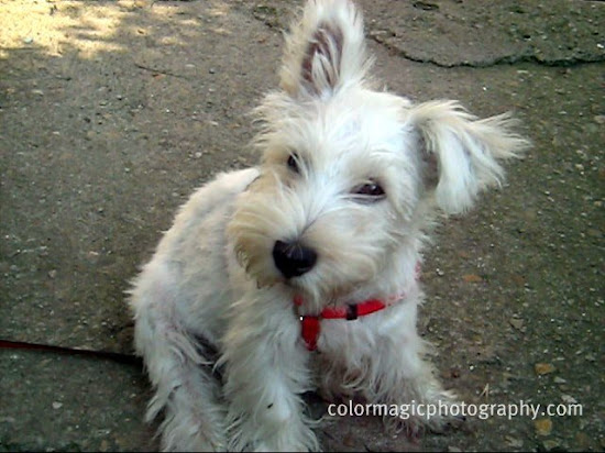 Westie puppy photo-West Highland White Terrier