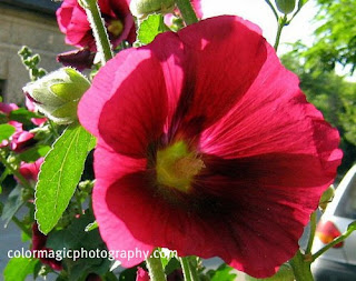 red hollyhock close up