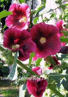 red hollyhock-enlarged photo