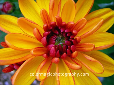 Golden - yellow Chrysanthemum close up