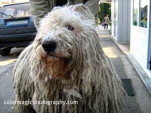 A huge Hungarian Komondor - portrait