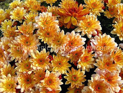 A bunch of golden chrysanthemums