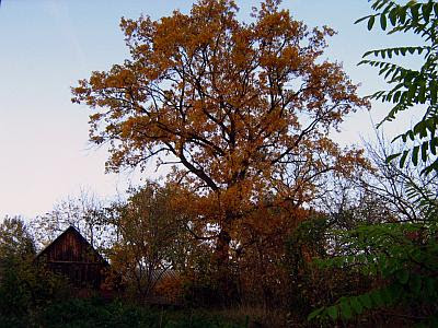 Big tree near a cottage in the evening