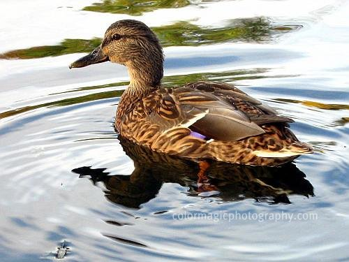 Mallard+female+duck+close-up