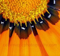 Gazania pattern close-up
