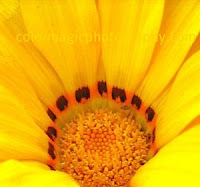 Bright yellow gazania close-up