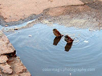 Two hen-sparrows in the puddle