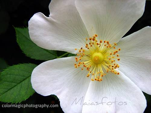 Wild rose close-up white