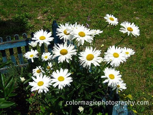 Bunch+of Shasta daisies