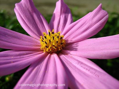 Light purple cosmos flower