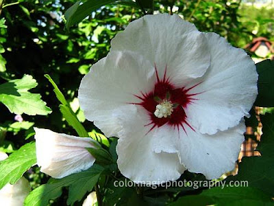 Rose of Sharon-hardy hibiscus