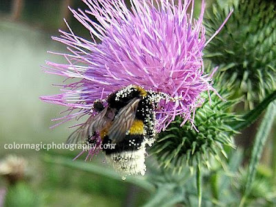 Bumble bee on thistle flower