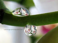Two raindrops-one orchid-macro photography